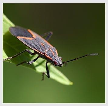 Box Elder Bugs
