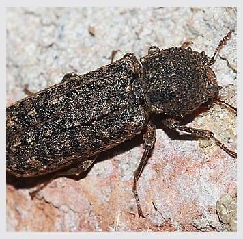 Powder Post Beetles