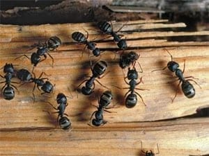 carpenter-ants-in-your-house