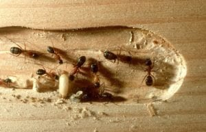 carpenter ants removal in new jersey