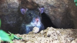 rats removal services in basking ridge new jersey