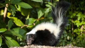 skunk in chester NJ