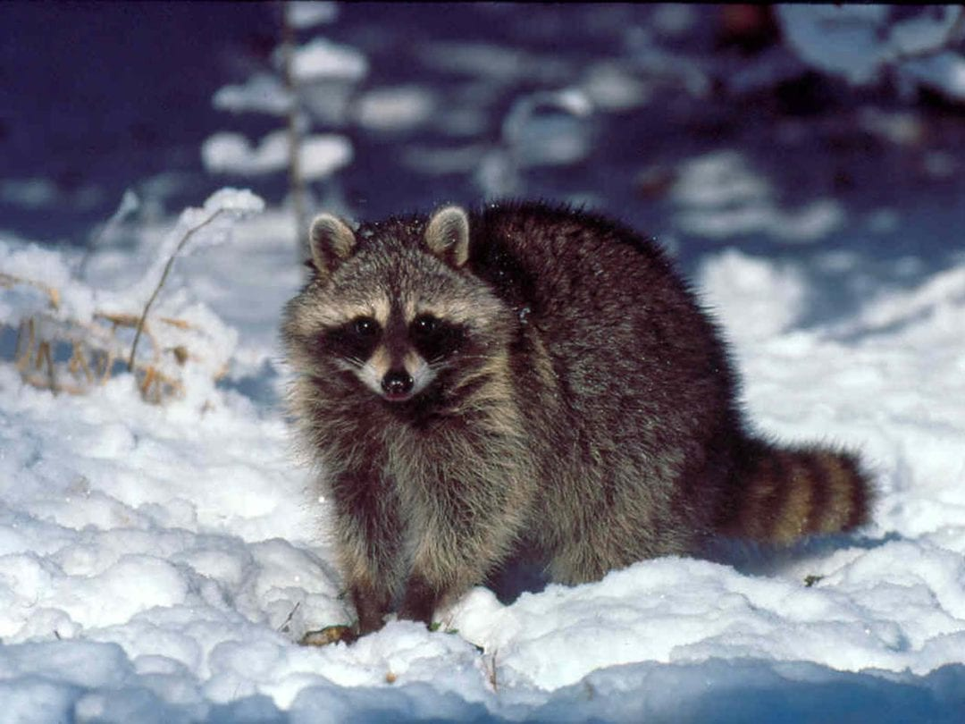 What Wildlife Pests Are You Likely to Encounter During Winter?