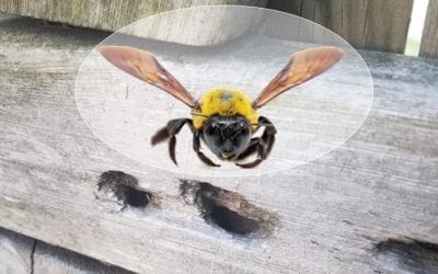 How Do You Get Rid Of Carpenter Bees?
