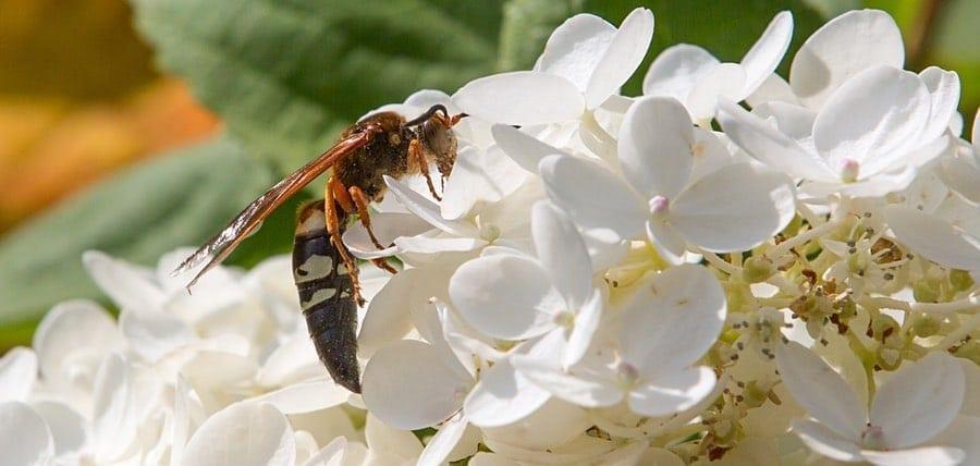 Cicada Killer Wasp Facts