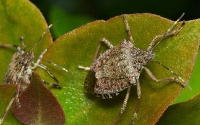 Home & Yard Invaders! All About & How To Get Rid of Stink Bugs