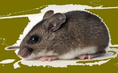 Peromyscus Maniculatus, Deer Mouse – Habitat-Danger-Disease
