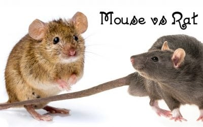 Mouse vs. Rat – Differences