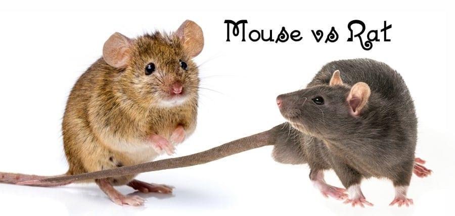 Mouse vs. Rat – Differences