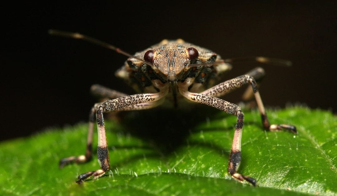 Brown Marmorated Stink Bug Invading NJ