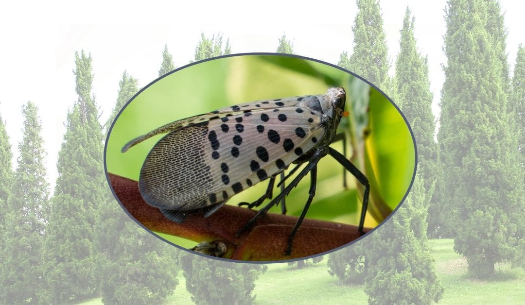 The Christmas Tree Bug Could Be Laying Eggs In Your NJ Home