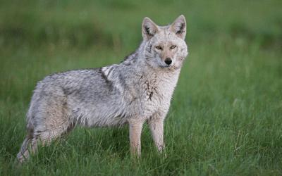 BEWARE! Eastern Coyote Sightings in NJ – What To Know!