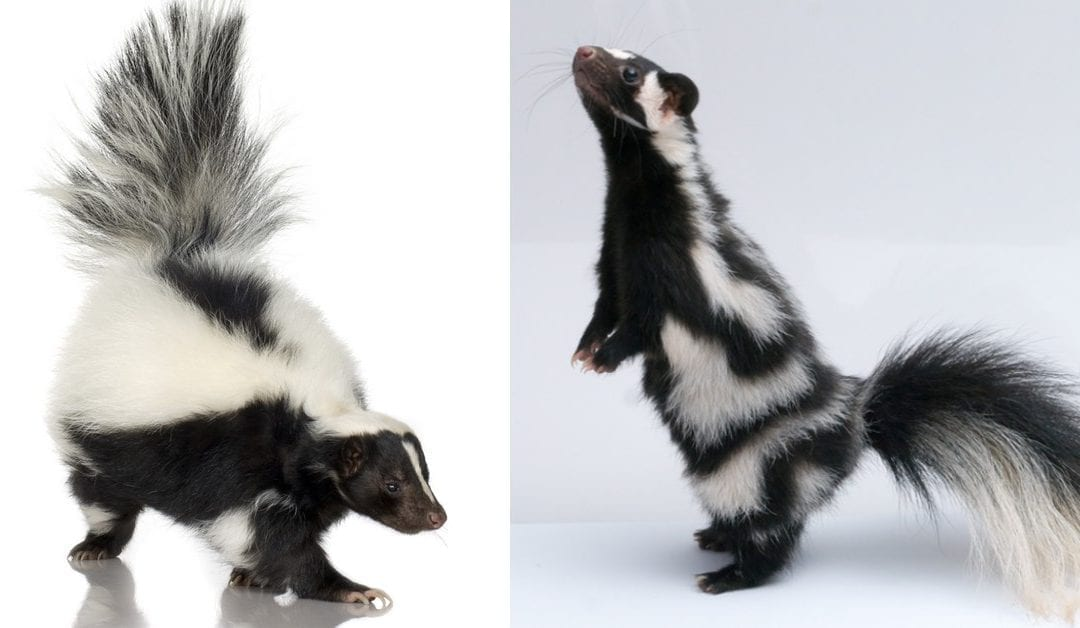 The Different Types of Skunks: Striped, Spotted, and Hooded