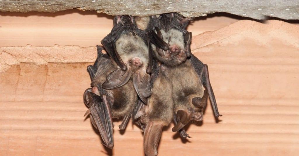 Professional & Affordable Bat Removal, Morris County, NJ