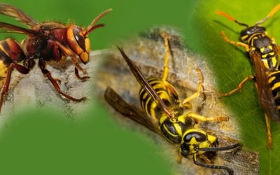 Wasps, Hornets, and Yellow Jackets in Full Swing
