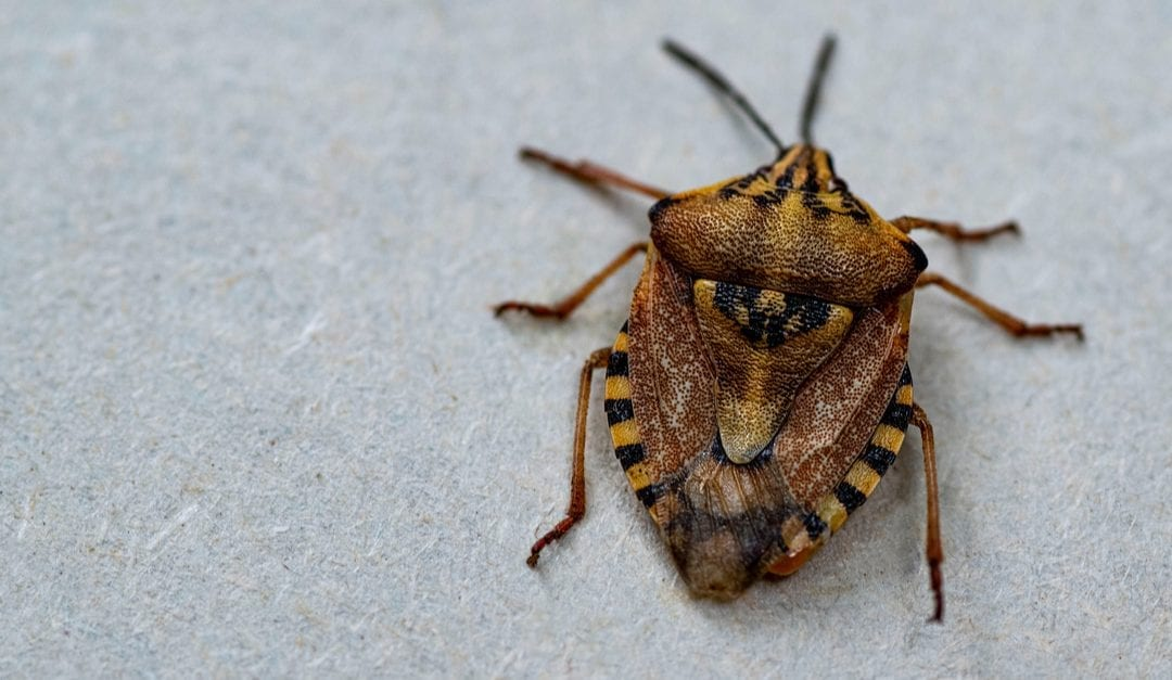 Stink Bug Facts, All You Need to Know Right Here