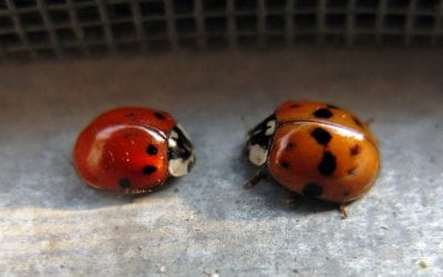 Types of Ladybugs, Facts, and Information