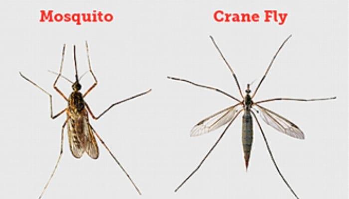 Mosquito Vs Crane Fly