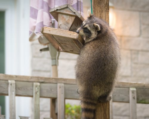 Unwelcome Visitors: What To Do If You Have A Raccoon In Your Backyard At Night 2