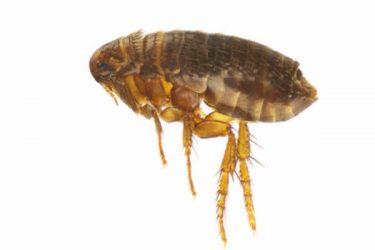 Flea Extermination