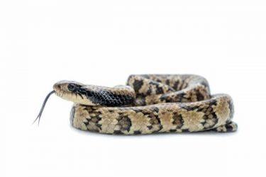 snake on white bg